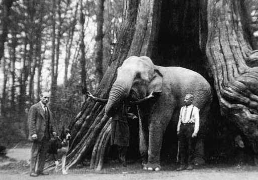 hollow tree elephant